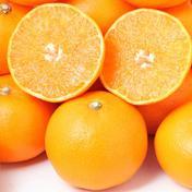 お試し!春の柑橘食べ比べセット(ご家庭用) 1.5㌔ 果物(みかん) 通販