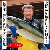 越前ぐみざき定置網産の朝どれ!大将おまかせ鮮魚さくどり2〜3人前 福井県 通販