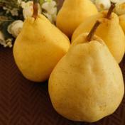 ル・レクチェ 青秀品 大玉 約4kg 約4kg(7〜9個入り) 果物や野菜などのお取り寄せ宅配食材通販産地直送アウル