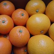 旬の柑橘セット 『ネーブルオレンジ』と『八朔(はっさく)』 5kg 5kg 広島県 通販