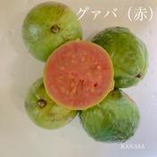 赤グァバ(1kg) 1kg 果物(その他果物) 通販
