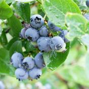 【有機JAS認証】冷凍ブルーベリー 4kg 4kg 果物(その他果物) 通販