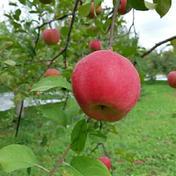 やましげりんご サンふじ 5kg【家庭用】 約5kg
