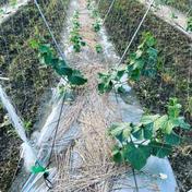 【新鮮野菜直送!】自根栽培きゅうり2kgキロ 2kg 野菜(きゅうり) 通販