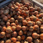 北海道産!普通の玉ねぎ!10Kg 10Kg 果物や野菜などのお取り寄せ宅配食材通販産地直送アウル