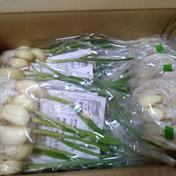 芽だし元気にんにく 一袋8個入×10袋 鹿児島県 通販