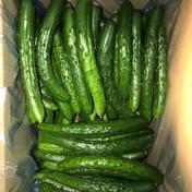 訳あり きゅうりB品 規格外 無選別 朝採り野菜 10kg 福島県 通販