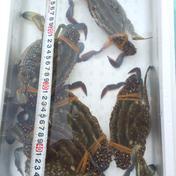 ワタリガニ約1㎏ 2~4匹 約1㎏前後 魚介類(カニ) 通販