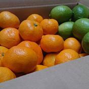 七光園の温州みかんとグリーンレモンのウキウキ柑橘セット 5kg 5kg 広島県 通販