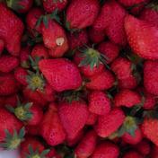 いちご 2kg そのまま冷凍しました 和歌山県産 2kg 果物(いちご) 通販