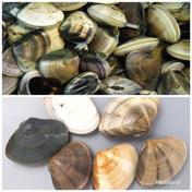 治吉水産 食べ比べセット 中はまぐり 小玉貝各2キロ 中はまぐり 小玉貝各2キロセット