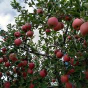 やましげりんご りんご・ふじ発祥の地 青森県藤崎町からお届け ひろさきふじ+トキ 詰め合わせ 計5kg 約5kg
