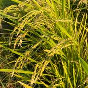 元氣のお裾分けbox。 新米令和三年 お試し 農薬節約栽培渥美半島コシヒカリ2kg 2kg