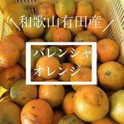 和歌山県有田産 バレンシアオレンジ  ※バレンシャオレンジ 5kg 果物(みかん) 通販