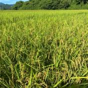 こんちゃん農園の水主米(みずしまい) 10kg(精米) 精米5kg×2袋=10kg 米 通販