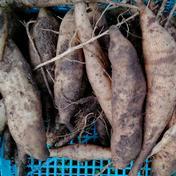 やっちゃん農園の無農薬野菜ヤーコン 5キロ 5キロ 果物や野菜などのお取り寄せ宅配食材通販産地直送アウル