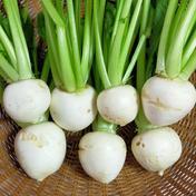 【訳ありサラダかぶ2kg】 2kg 果物や野菜などのお取り寄せ宅配食材通販産地直送アウル