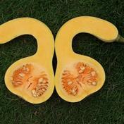 【有機肥料使用】 バターナッツ南瓜2kg詰め【キズありわけあり品】 約2kg 埼玉県 通販
