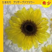 【プリザーブド】今村園芸/ひまわり(クリスタルイエロー) L 3輪 その他(花・植物) 通販