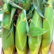 山梨県産とうもろこし2L 8本 2L 8本 果物や野菜などのお取り寄せ宅配食材通販産地直送アウル