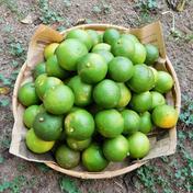 メープルマート 【自然栽培】搾汁用のお得な大分県特産の「かぼす」5kg(小さいものやキズ等で見た目が良く無い搾汁用のC品) 5kg