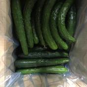 訳あり 加工用きゅうり 規格外 無選別 朝採り野菜 10kg 福島県 通販