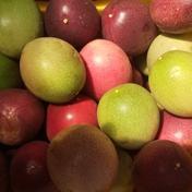 加工用パッションフルーツ5キロ 5キロ 果物(その他果物) 通販