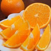 国産オレンジの島育ち ネーブルオレンジ 5kg 5kg 広島県 通販