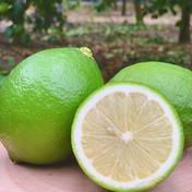 爽やかな香り広がる*皮まで安心グリーンレモン1キロ 1キロ 7個から14個 果物(レモン) 通販