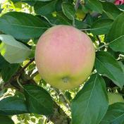 やましげりんご りんご・ふじ発祥の地 青森県藤崎町からお届け トキ 5kg【家庭用】 約5kg