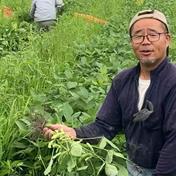 【送料込】やめられない!止まらない!吉川農園の絶品枝豆B品2kg 家庭用で、キズ 曲がり等ございますが、味には全く問題ありません!B品ですが、安心してお求めください!! 2kg入 1箱 野菜(豆類) 通販