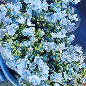 1度で4回楽しめるお花♪デルフィニウム 薄水色 長さミックス 15本 農カード付 15本 その他 通販