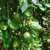 メープルマート 【自然栽培】まろやかな酸味♪農薬、肥料を使わずに育てた大分県特産の「かぼす」3kg(B品も含む無選別品) 3kg