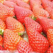 【年内限定予約商品】秋色深まる季節の特別なイチゴの味【内容量900g】 900g 果物 通販