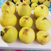 山形県産 マルメロ(通称カリン) 3kg×1箱 送料込 3.0kg 果物や野菜などのお取り寄せ宅配食材通販産地直送アウル