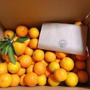 【予約品】パクパクが止まらない♪完熟小玉のゆらみかん10kg 10kg箱込み 果物(みかん) 通販