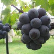 マルダイ大場農園のぶどう 種なしピオーネ3房入り(約1.6kg) 約1.6kg 果物(ぶどう) 通販