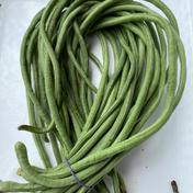 秋新物十六ささげ緑1kg 1kg 大阪府 通販
