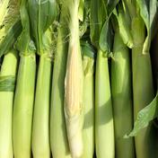 近藤農園のホワイトショコラのヤングコーン 1箱50本入り 野菜(とうもろこし) 通販