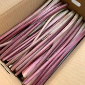 長岡野菜 赤ずいき 約3kg 3kg 新潟県 通販