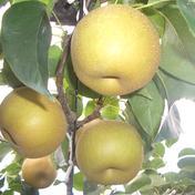 マルダイ大場農園の幸水梨 小箱約1.8kg(5~7個) 約1.8kg 果物(梨) 通販