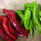 【大雨被害から復活!】自然栽培べっぴんやさいの赤緑甘長ししとう(約1.5kg) 約1.5kg 野菜(その他野菜) 通販