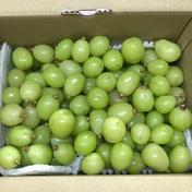 シャインマスカット 粒サイズ不揃い 1.5kg 1.5kg 果物や野菜などのお取り寄せ宅配食材通販産地直送アウル