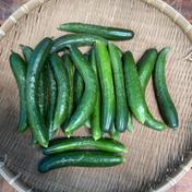 鈴木清友農園 きゅうり 20本 野菜(きゅうり) 通販