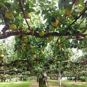 マルダイ大場農園の樹齢約100年!20世紀梨小箱 約1.8kg(5~7個) 約1.8kg 果物(梨) 通販