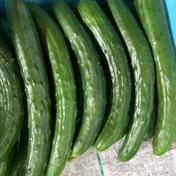 規格外きゅうり 朝収穫、当日発送! 4.5kg 野菜(きゅうり) 通販