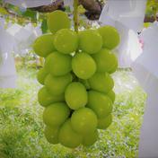 シャインマスカット レギュラー品  約1kg(2~3房) 約1kg (2~3房) 果物(ぶどう) 通販