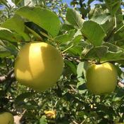 【レギュラー品】シナノゴールド  約10kg 24〜36個 信州りんご 約10kg(24〜36個) 遠山農園