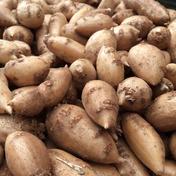 自然薯のくわはら インディアンのスタミナ源!熟成生アピオス 1kg