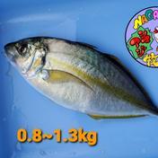 養殖シマアジ 三枚おろし 0.8~1.0㎏ 魚介類(その他魚介の加工品) 通販